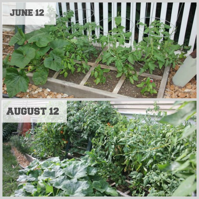 New Nostalgia Square Foot Garden Progress What To Do With All Those Tomatoes