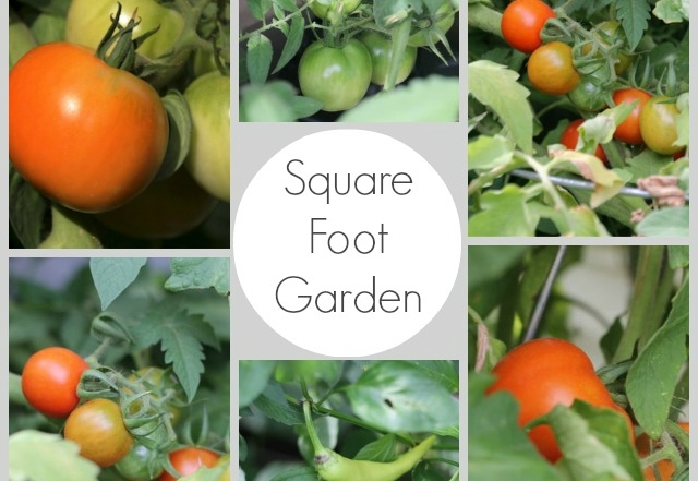 Square Foot Garden Progress & What To Do With All Those Tomatoes!